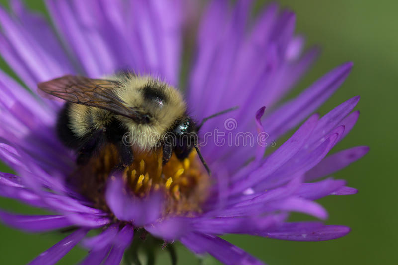 New England Aster and Bumblebee royalty free stock photography