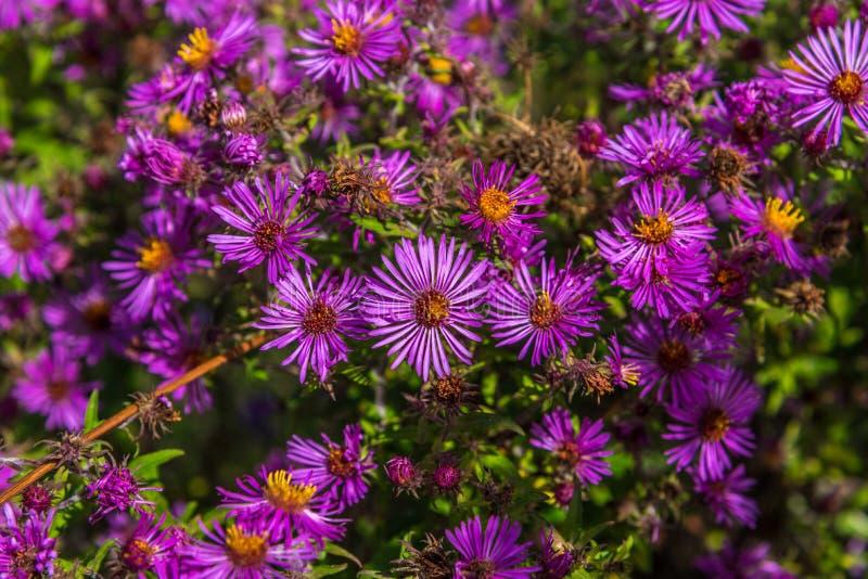 New England Aster. Purple wild flowers. New England Aster. Symphyotrichum Novae-Angliae. Aster Novae-Angliae stock photography