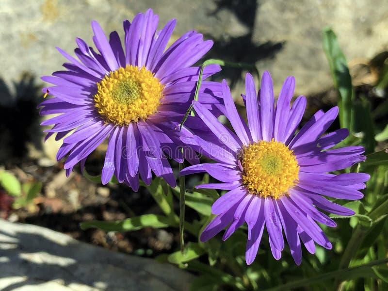 New England aster Symphyotrichum novae-angliae ou anteriormente Aster novae-angliae, Hairy Michaelmas-daisy, Die Raublatt-Aster imagens de stock royalty free