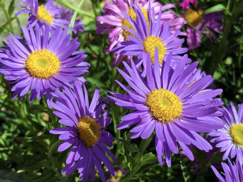 New England aster Symphyotrichum novae-angliae ou anteriormente Aster novae-angliae, Hairy Michaelmas-daisy, Die Raublatt-Aster fotografia de stock royalty free