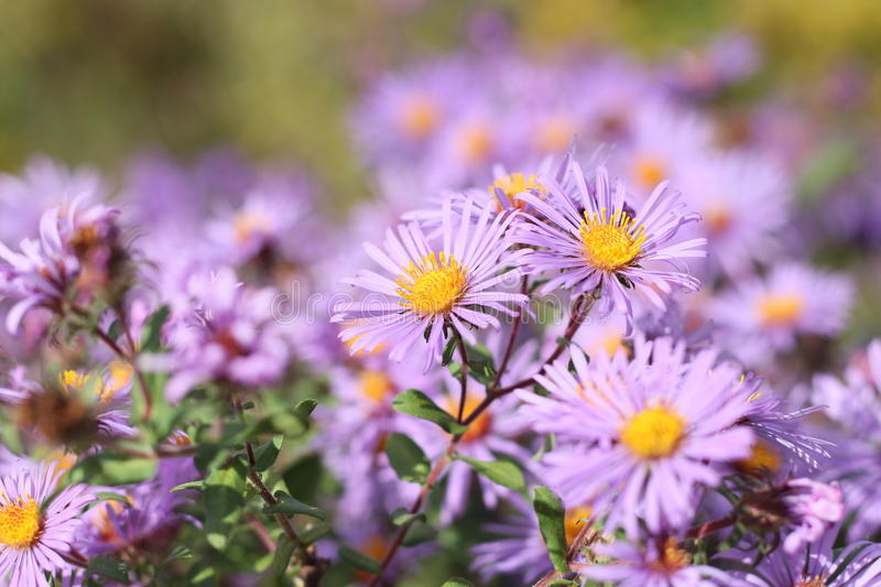 New England Aster. (Symphyotrichum novae-angliae) Patch royalty free stock image