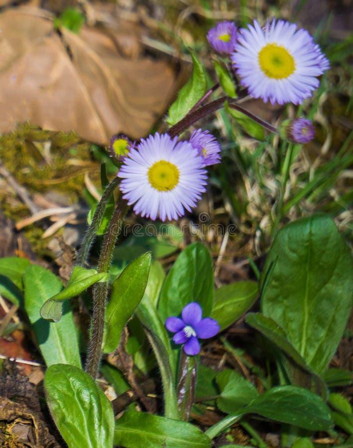 New England Aster, Symphyotrichum novea-angliea stock foto