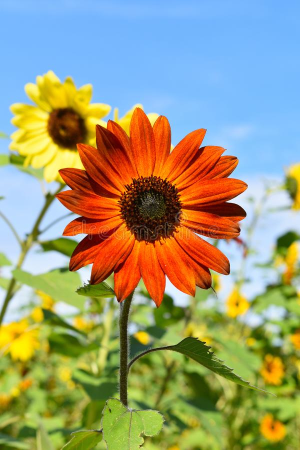 Red sunflower on Fall day in Littleton, Massachusetts, Middlesex County, United States. New England Fall. New England fall foliage showing the front view of stock photography