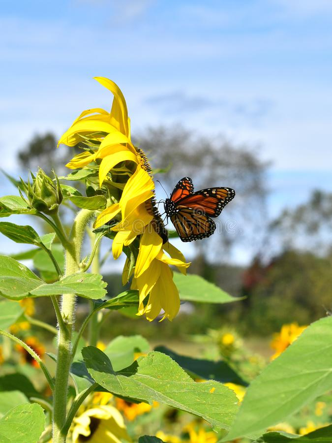 Monarch butterfly in Yellow sunflower on Fall day in Littleton, Massachusetts, Middlesex County, United States. New England Fall. New England fall foliage royalty free stock photos