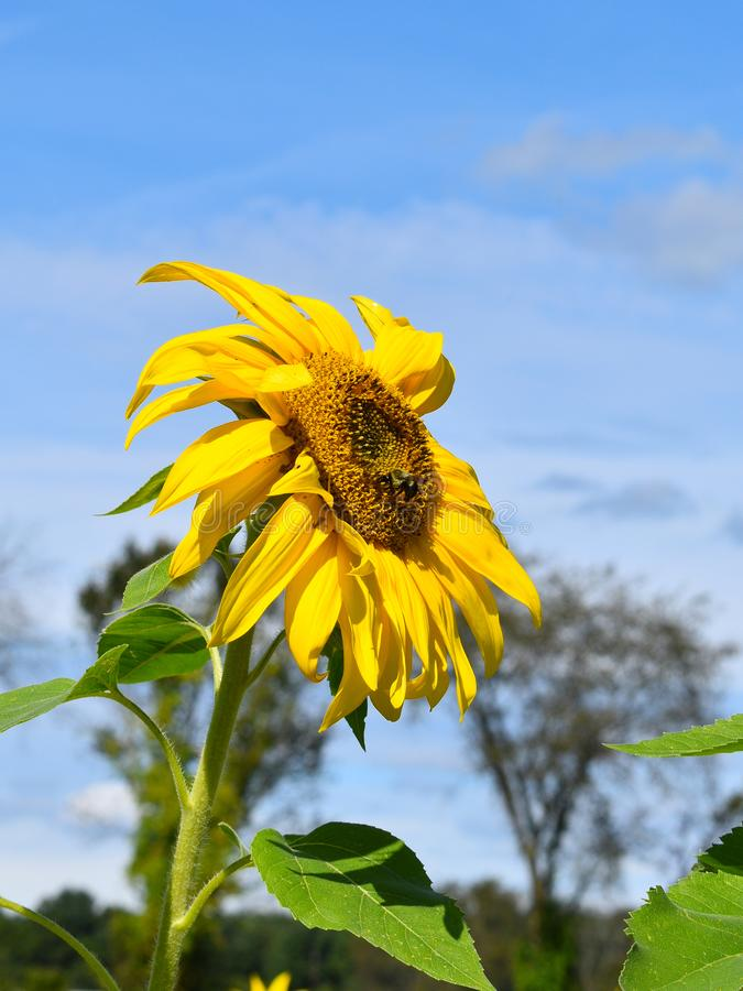 Yellow sunflower on Fall day in Littleton, Massachusetts, Middlesex County, United States. New England Fall. New England fall foliage showing the side view of royalty free stock photography