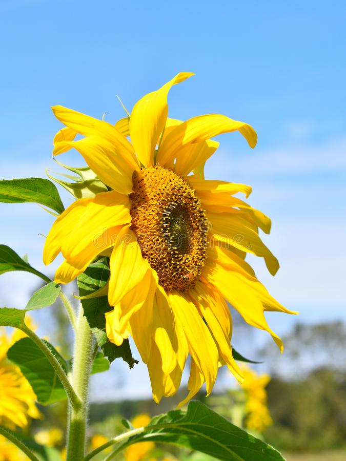 Yellow sunflower on Fall day in Littleton, Massachusetts, Middlesex County, United States. New England Fall. New England fall foliage showing the side view of royalty free stock image