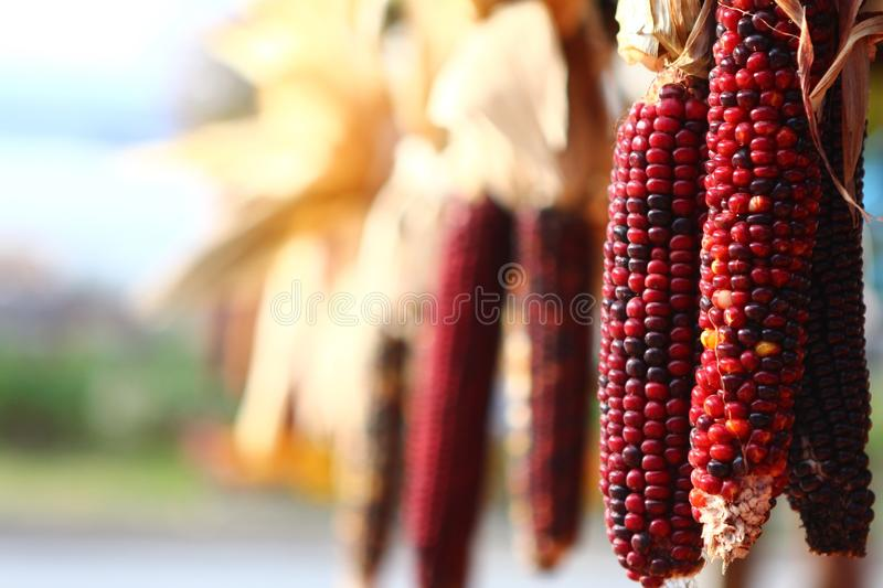 New England Fall Harvest. Colorful corn during New England fall harvest stock photography