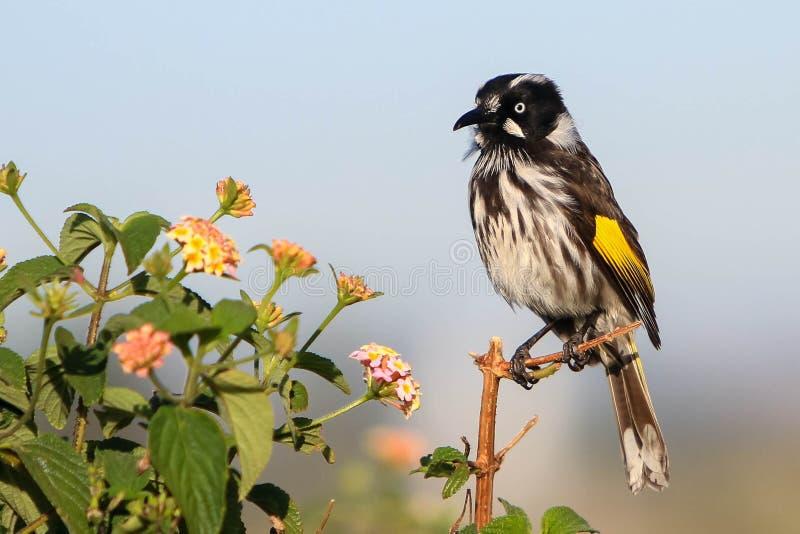 New England Honey Eater fågel royaltyfri bild
