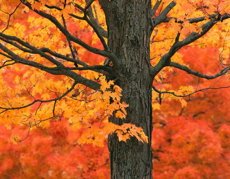 New England Maple Tree in Fall Colors. A New England Maple Tree in fall, autumn colors and red background stock photography