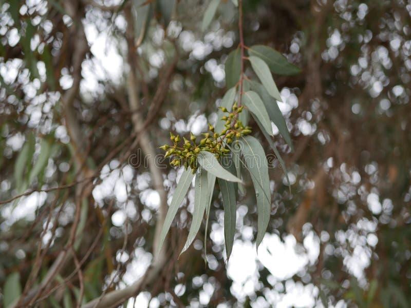 New eucalyptus bud on a branch on a spring day. blue-leaved oil mallee. Eucalyptus polybractea. Eucalyptus polybractea. new eucalyptus bud on a branch on a stock photos