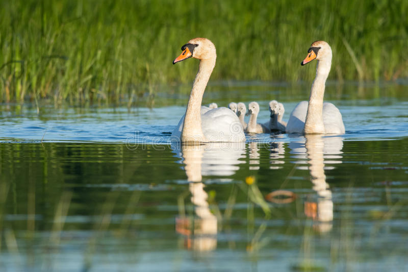 New family. Mute swan family swimming with newborn cygnets in summer stock images