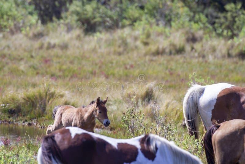 New foal in Chincoteague Ponies herde stockfotografie