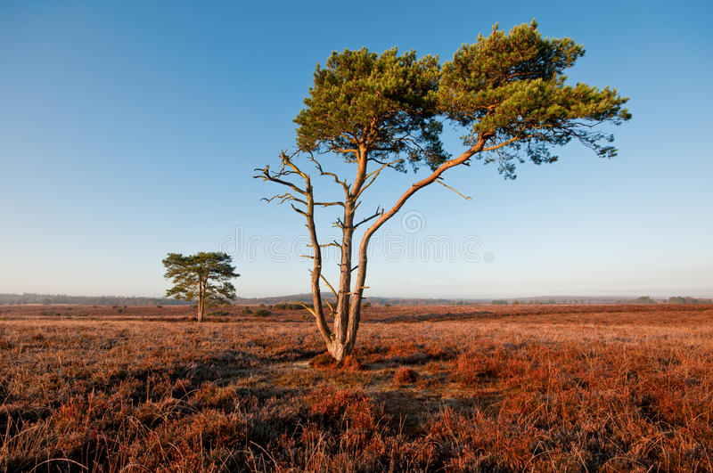 Download New Forest. stock illustration. Image of bush, pine, lonely - 27644935