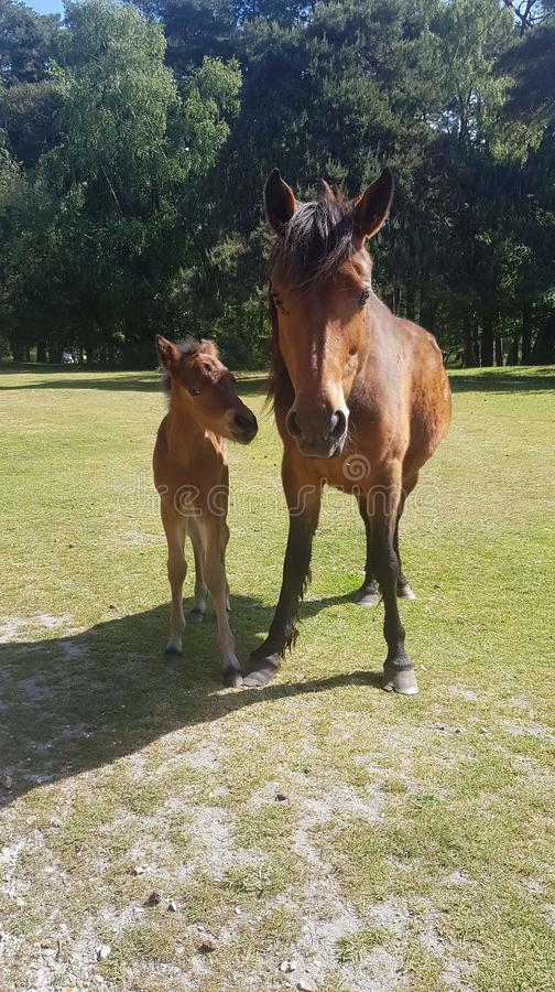 New forest beauties. Mare foal horses pony stock photography