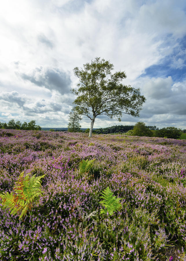 Download New Forest Heather stock photo. Image of english, flowering - 33789692