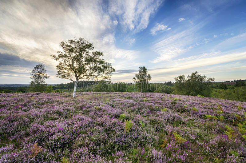 New Forest Heather. Heather in bloom in the New Forest stock images