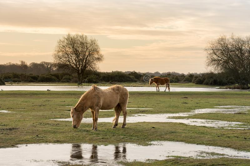 New Forest ponies feeding on grass Hampshire, UK royalty free stock image
