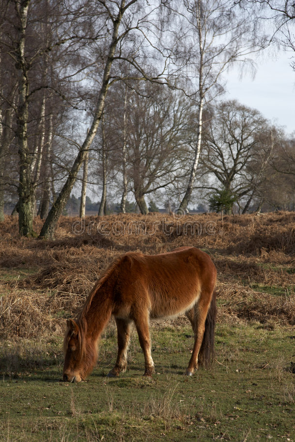Free New Forest Pony Stock Photos - 1921043