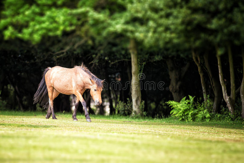 New Forest pony. In a clearing, Nomansland, Hampshire, UK royalty free stock photography