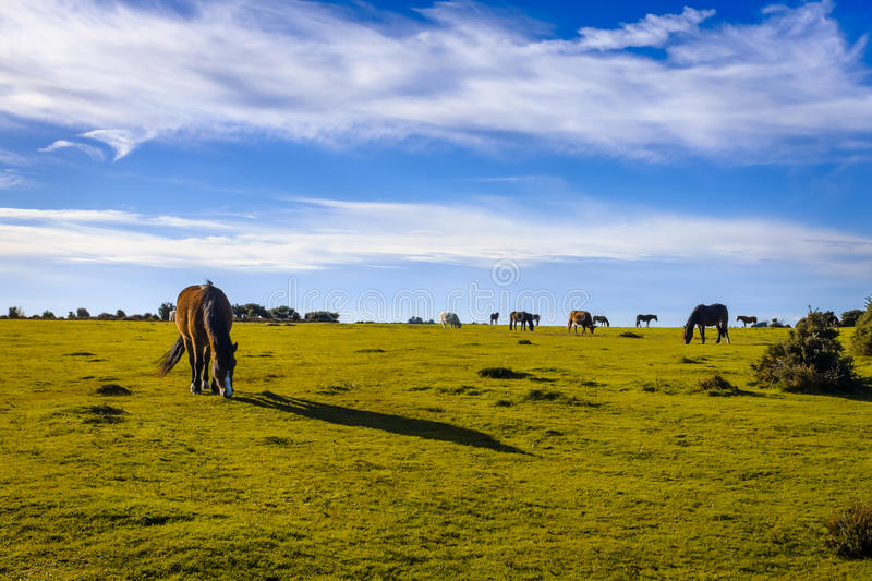 New Forest Pony Grazing. New Forest ponies grazing on the heath in late afternoon royalty free stock photo