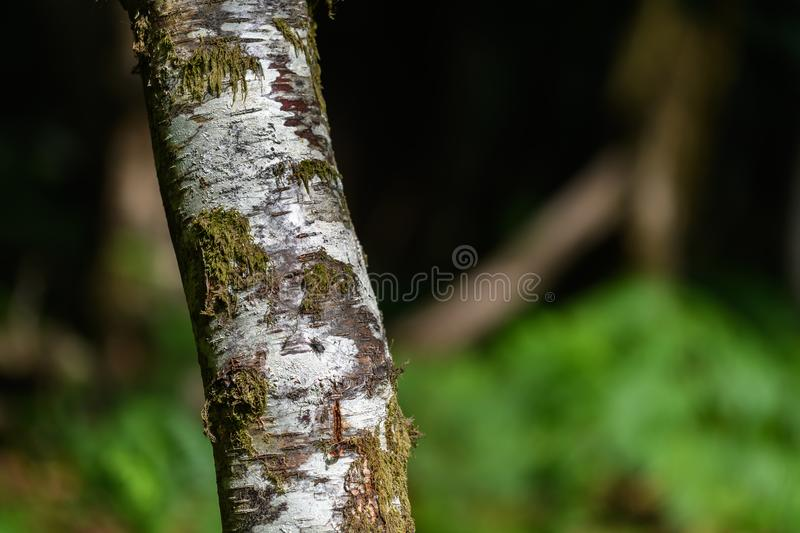 New Forest trees in England. New Forest silver bark tree in England stock photography