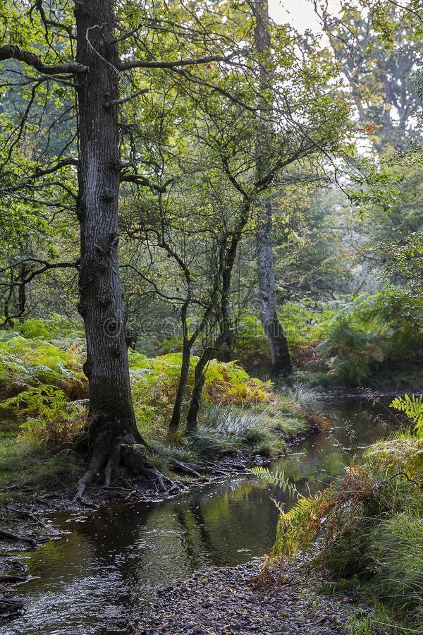 New Forest with stream royalty free stock image