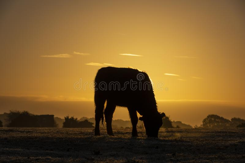New Forest with Sunrise and Cow stock image