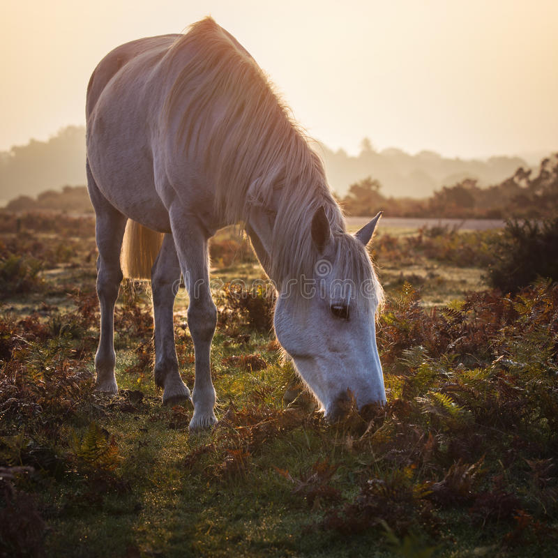 New Forest white pony feeding at misty morning sunrise royalty free stock photo