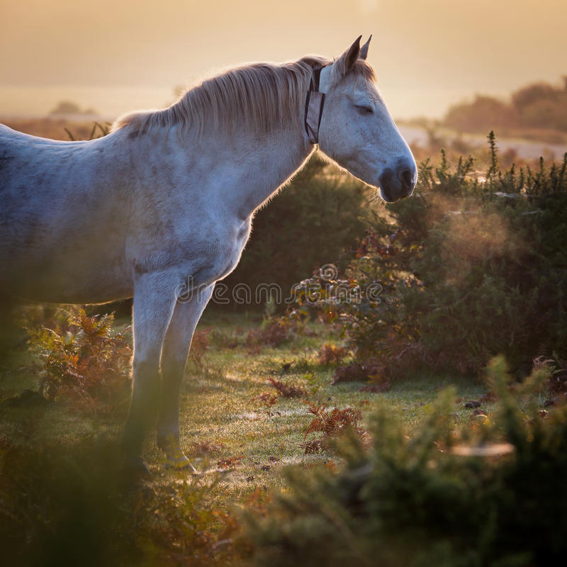New Forest white pony inhaling misty morning sunrise stock photography