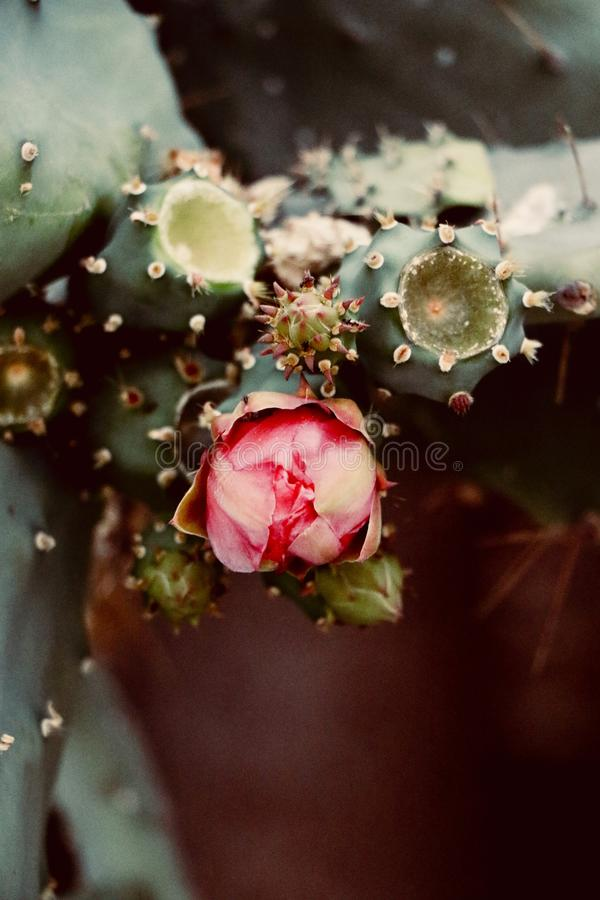 Blossoms of opuntia. New fresh flower of opuntia royalty free stock photo