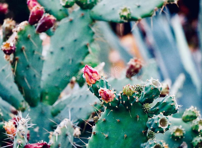 Blossoms of opuntia. New fresh flower of opuntia royalty free stock images