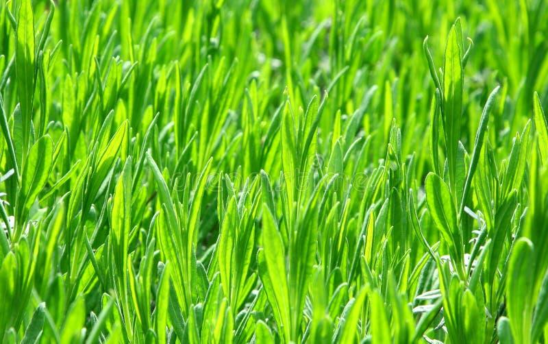 New green shoots royalty free stock image