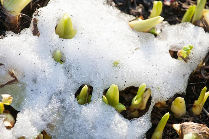 New green sprouts growing through old spring snow. Closeup top view stock photos