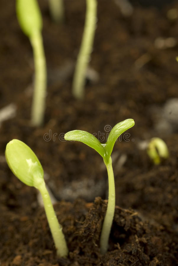 Seedlings in dirt stock photography