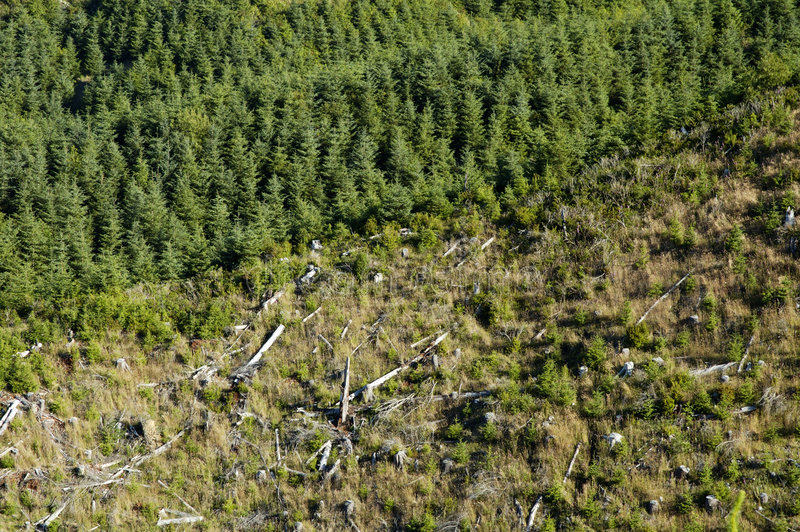 New Growth 4. New tree growth in a clearcut area on a mountainside along the Pacific coast royalty free stock photo