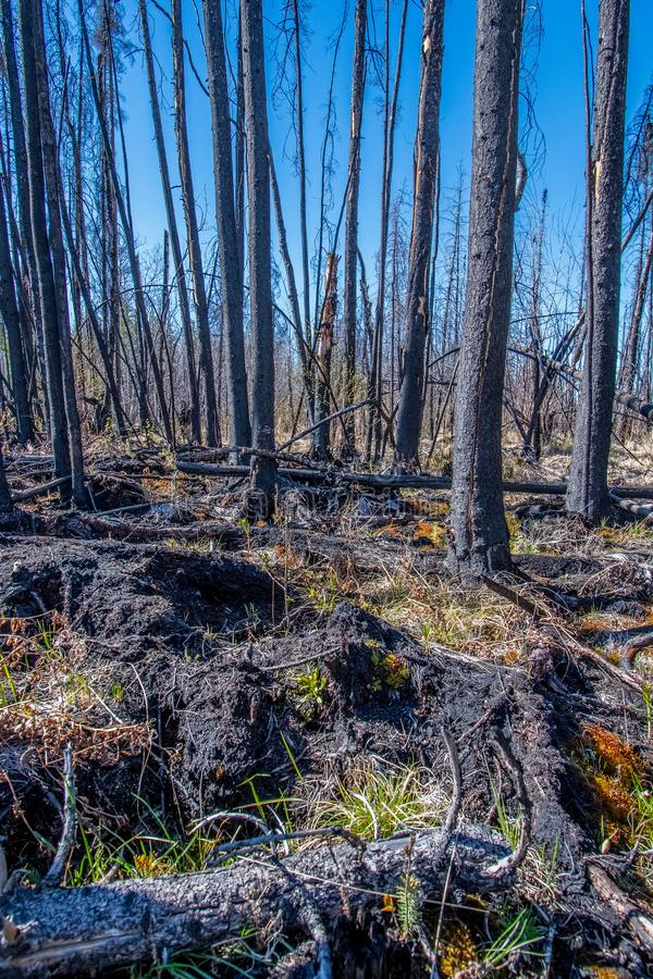 New growth after the fire stock image
