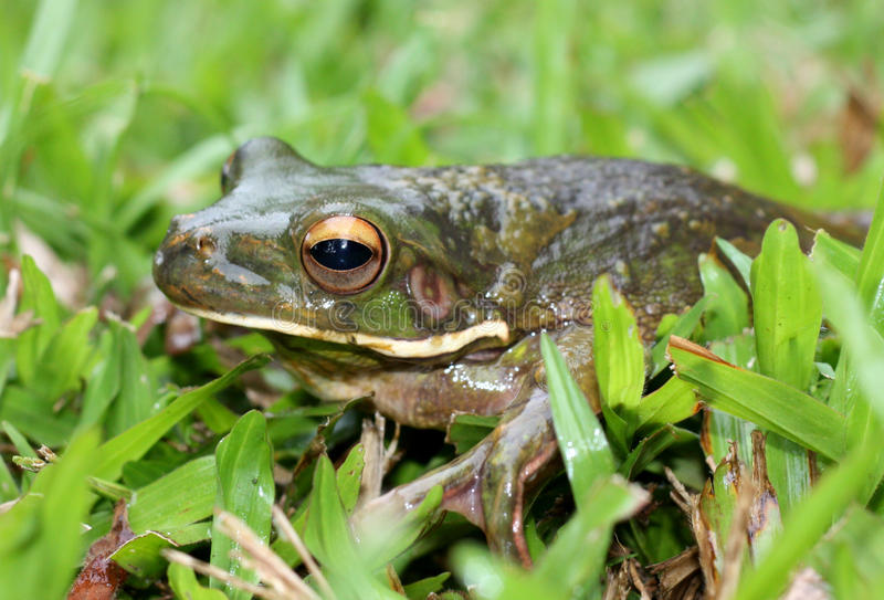 Download New Guinea Frog stock photo. Image of amphibian, grass - 22596376