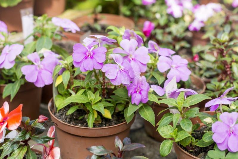 New Guinea Hybrid Impatiens. Guinea Hybrid Impatiens flowers in hothouse . Sofia Botanical Garden stock photos
