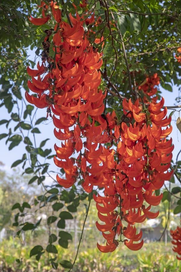 New Guinea ranka eller röda Jade Vine i trädgård royaltyfri fotografi