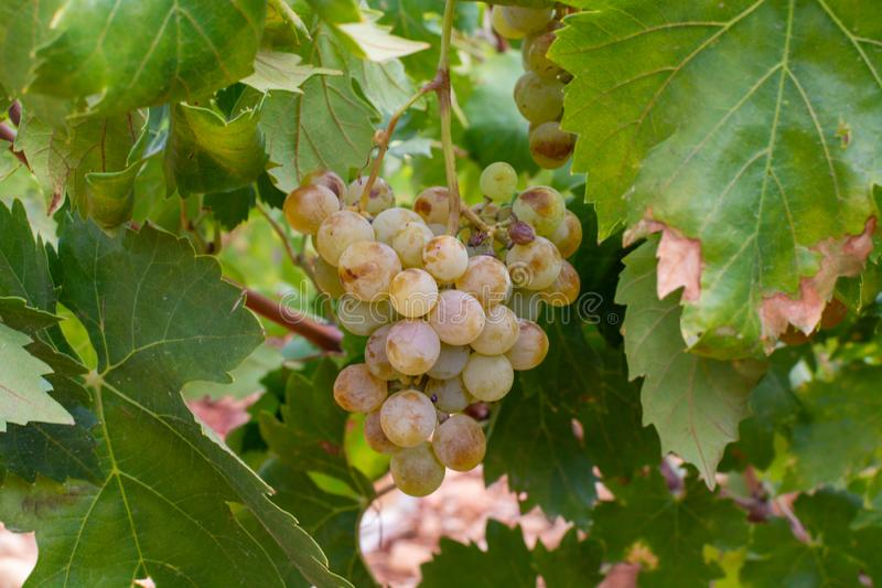 New harvest of famous sweet sherry wine pedro ximenez grape on vineyards in Montilla-Moriles region, Andalusia, Spain, near. New harvest of sweet sherry wine royalty free stock photos