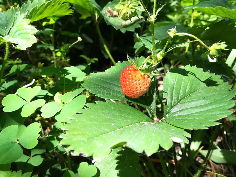 New harvest of sweet fresh outdoor red strawberry, growing outside, tasty strawberries royalty free stock photography