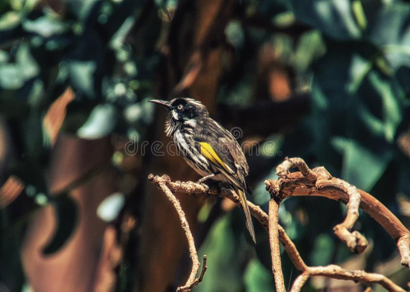 New Holland Honeyeater bird stock photo