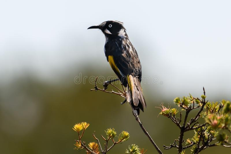 New Holland Honeyeater bird royalty free stock photo
