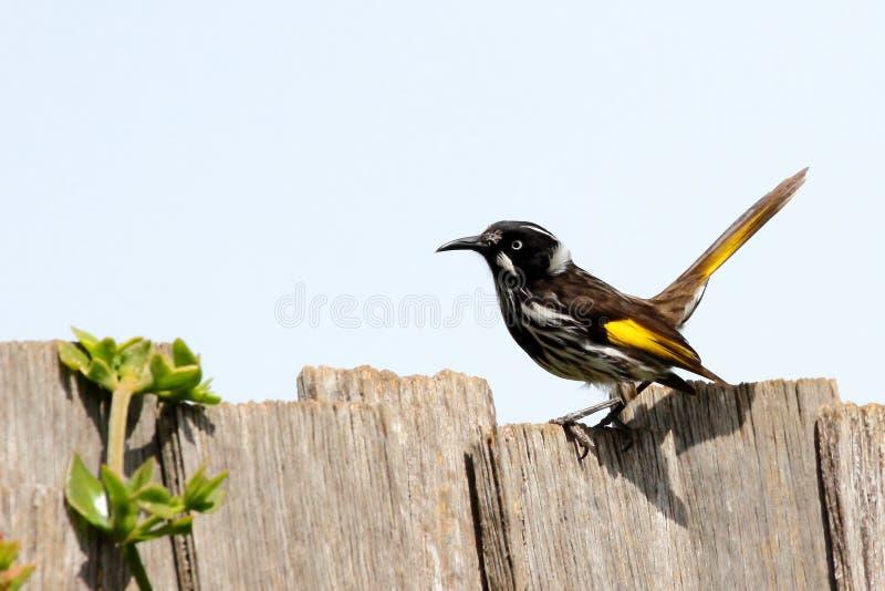 Honeyeater bird on fence royalty free stock photography