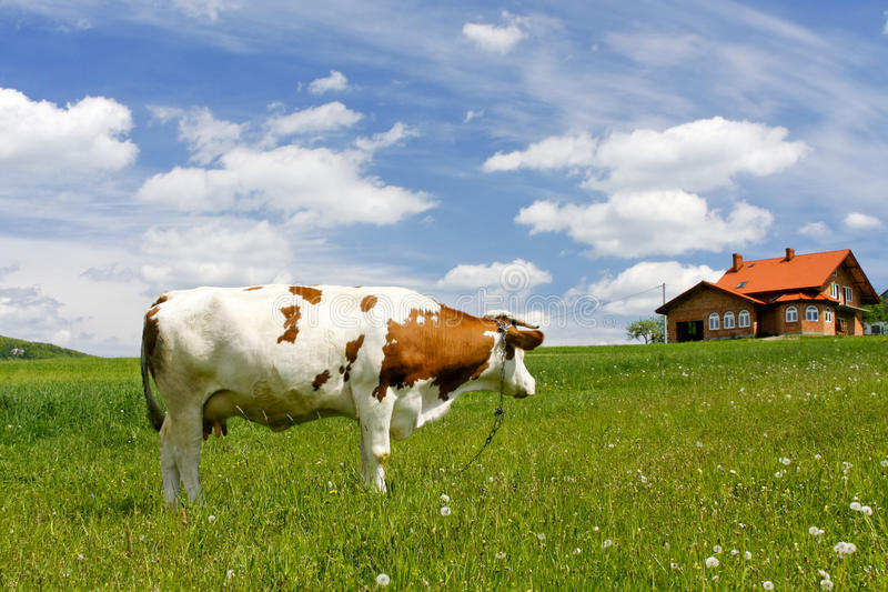 New house and cow stock images