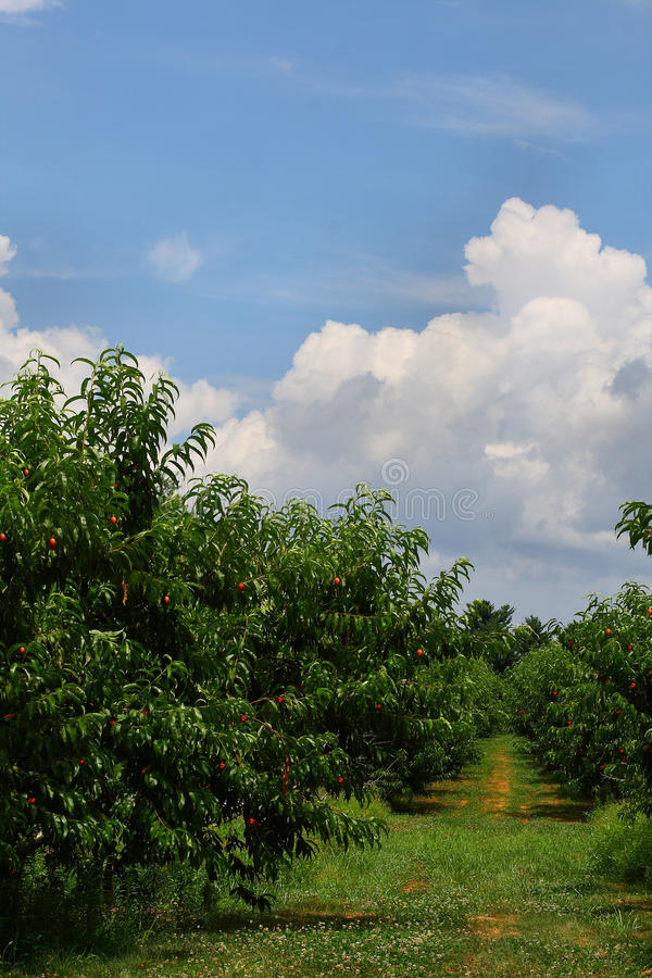 Free New Jersey Peach Field Royalty Free Stock Photo - 15081335