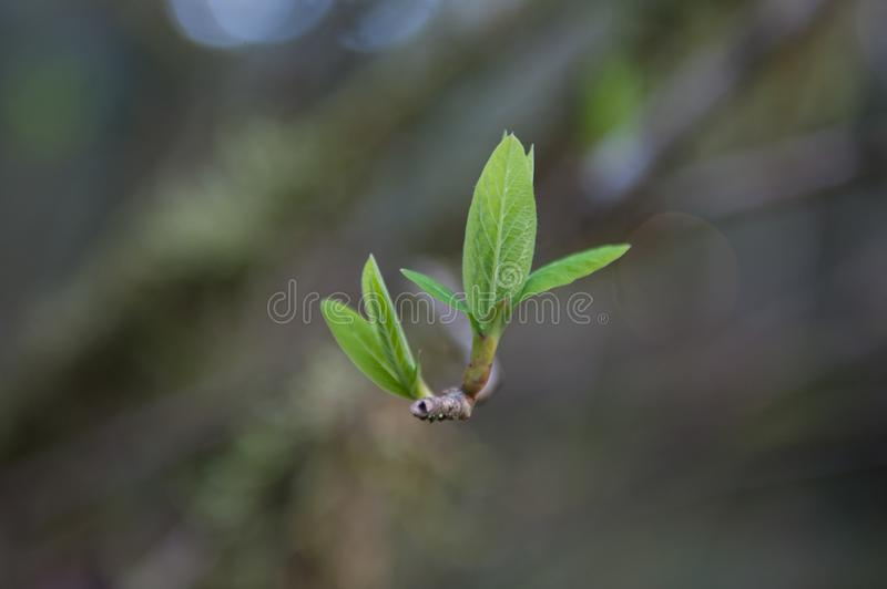 New leaf buds on branch with blurry background royalty free stock photo
