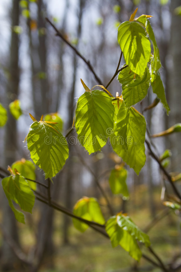 New leafs in springtime royalty free stock images