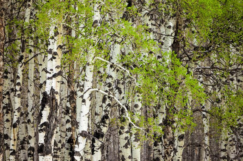 New leaves on aspen trees in springtime royalty free stock photo