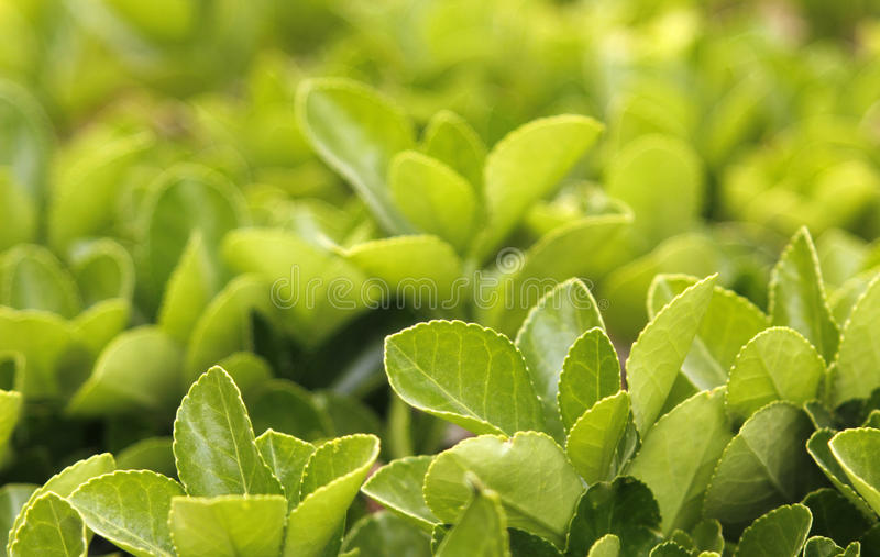Download The new leaves stock image. Image of plants, ecological - 30268211